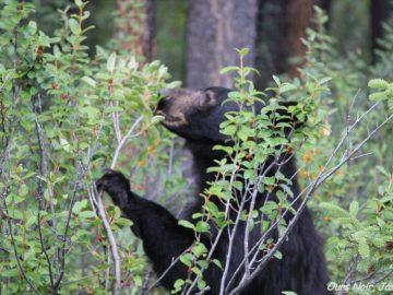 Le coût d'opportunité raconté par les ours !